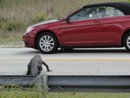 Gator On Road