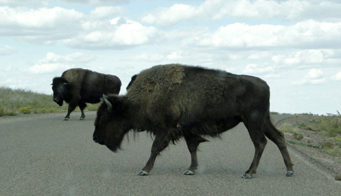 Bison On Road
